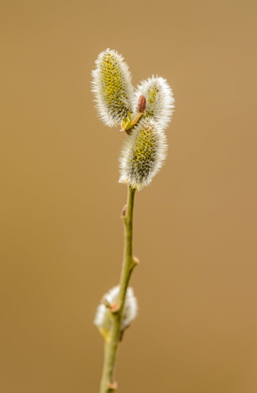 thin branch of pussy willow plant